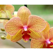 Отдушка для мыла Орхидея
