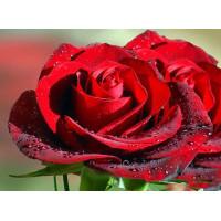 Эфирное масло Роза